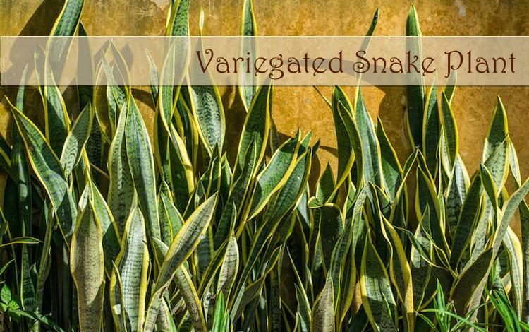 Variegated-Snake-Plant