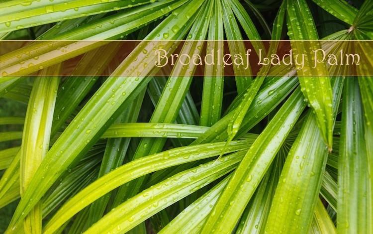 broad leaf lady palm
